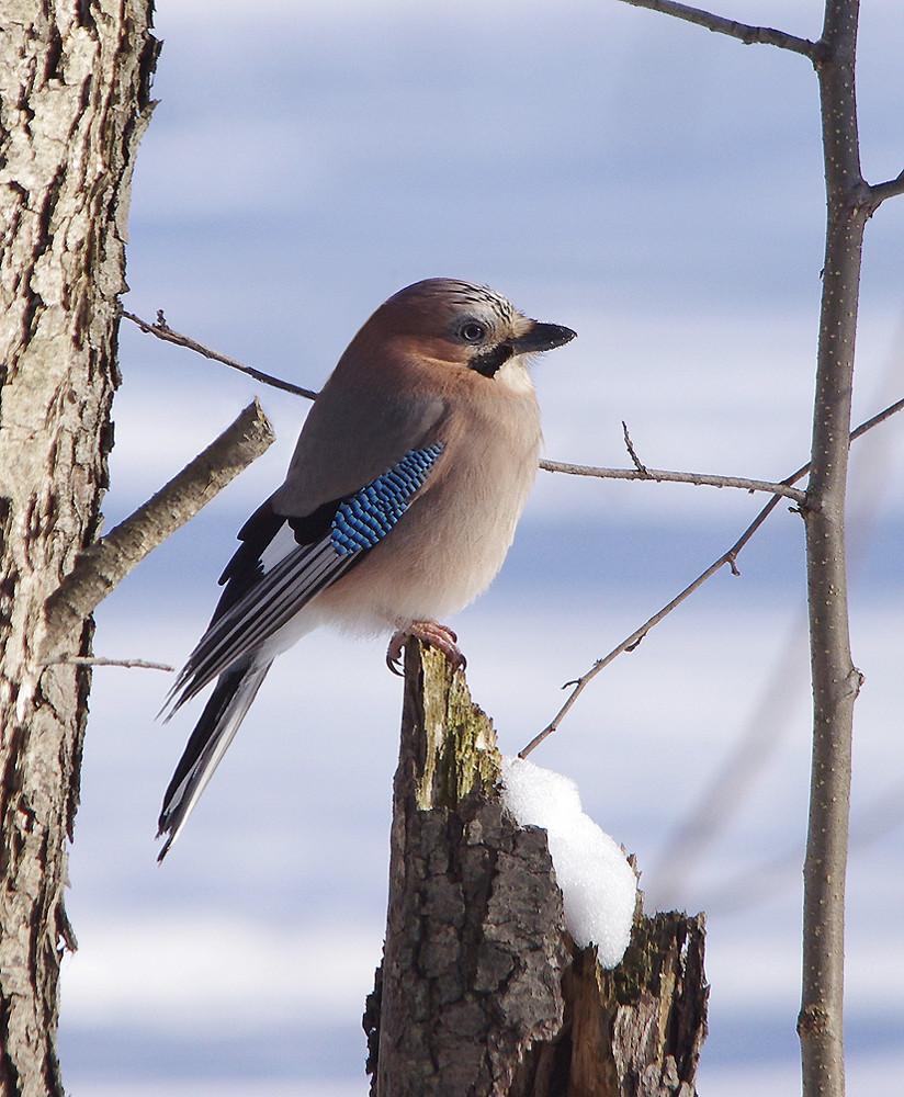 Картинки птиц зимующих у нас